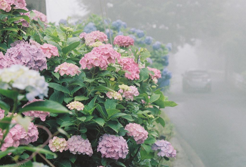 2018-07-31 紫陽花と箱根登山鉄道 006