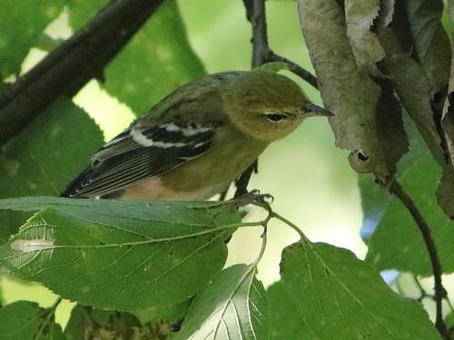 Blackpoll Warbler 03-20180912