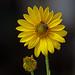 Fleur de topinambour by bernarddelefosse