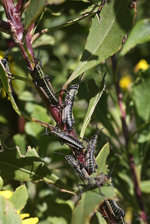 Phymateus leprosus (Pyrgomorphidae)