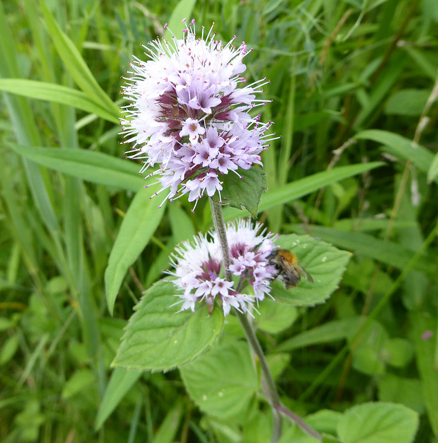 Water mint at Dawlish Warren