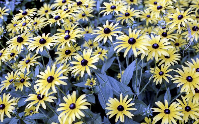 Kew Gardens Black Eyed Susans