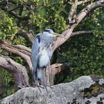 Grey Heron - Worth Park Lake, Crawley