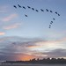 Goose Fly Past