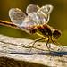 Common darter dragon fly