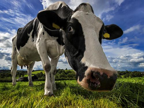 holstein dairy cow farm farmer milk blackandwhite closeup portrait muzzle grass grazing field ireland ulster northernireland alanhopps canon 80d 1022mm wideangle uwa udder view paddock outdoors summer bluesky