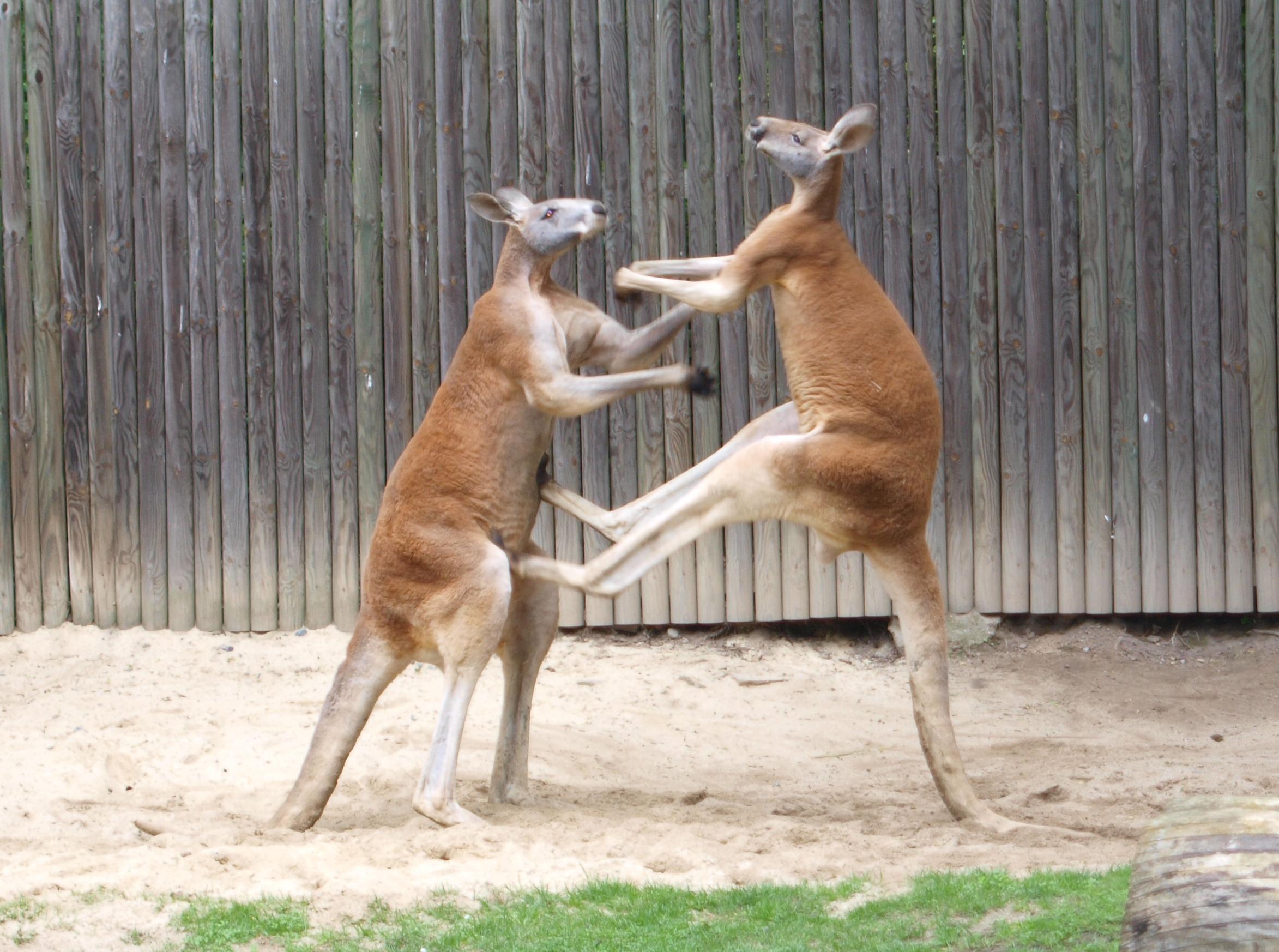 Fighting red kangaroos. Photo taken on May 23, 2010.