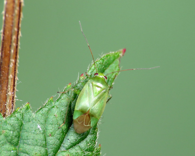 Apolygus spinolae