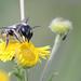 Megachile ligniseca (f)