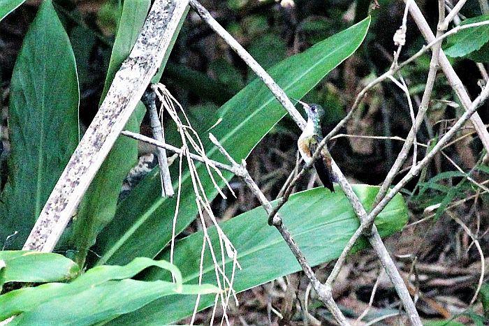Loja Hummingbird