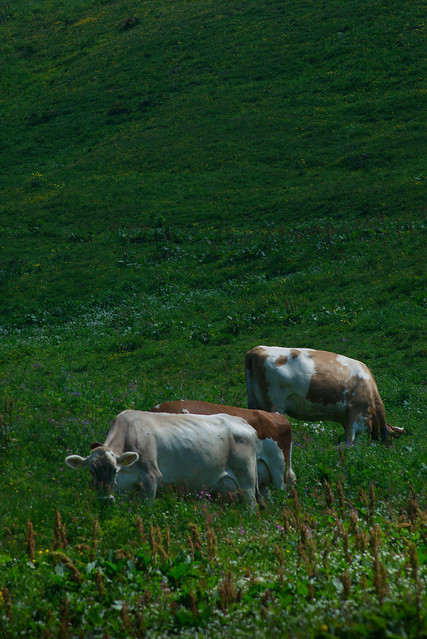 Two and 1/3 Cows, Switzerland, Jul 18