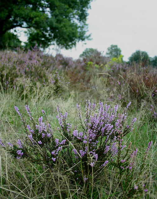 Nature in Holland, heather fields in Holland | Your Dutch Guide