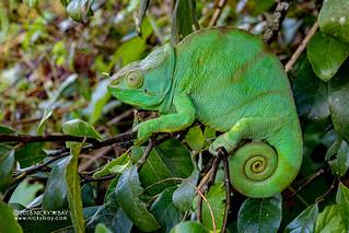 Parson's chameleon (Calumma parsonii) - DSC_0756