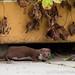Weasel 3