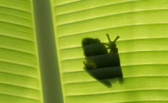 Frog on a banana leaf