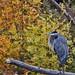 Great Blue Heron Posing by John Andersen (JPAndersen images)