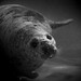 Swimming Seal by creativegaz