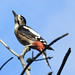 Woodpecker Greater Spotted 16