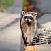 Rocky Raccoon by Thomas Hawk