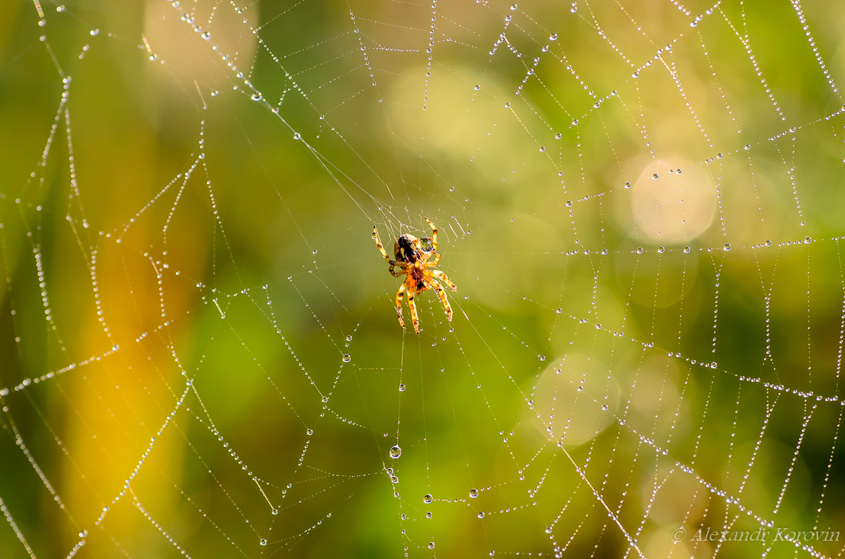 Small spider araneus at the center of its web
