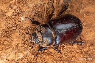 Rhinoceros beetle (Oryctes sp.) - DSC_2299
