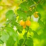 2018-08-19_14-14-37 - Fruit Garden Bokeh - Tarbek - Schleswig-Holstein - Deutschland