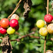 Turning red, bryony berries