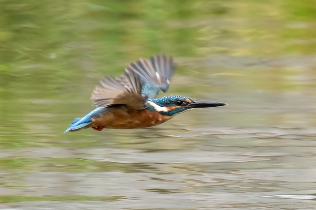 20180909-kingfisher-DSC_8496