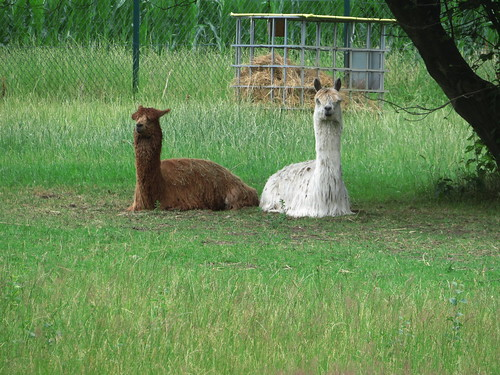 20180624 20 050 Baltica Lama Tier