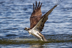 Osprey Water Lift Off