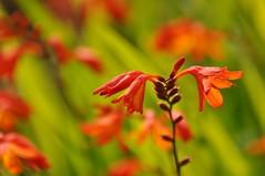 Ирисовые. Касатиковые (Iridaceae)