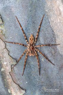 Wandering spider (Vulsor sp.) - DSC_0429