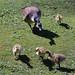 claremont landscape garden: goslings