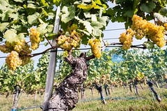 Vines with Yellow Grapes