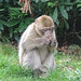 Young Barbary Macaque