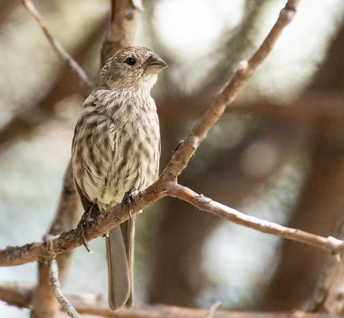 female_house_finch-20180819-110