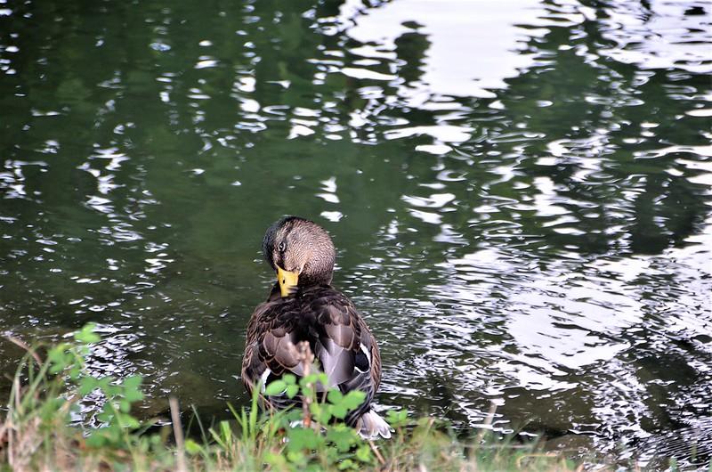Ducks 18.08 (8)