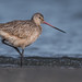Immature Marbled Godwit by Kevin Fox D500