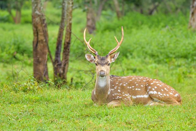 Male Spotted Deer Resting In Grass lands