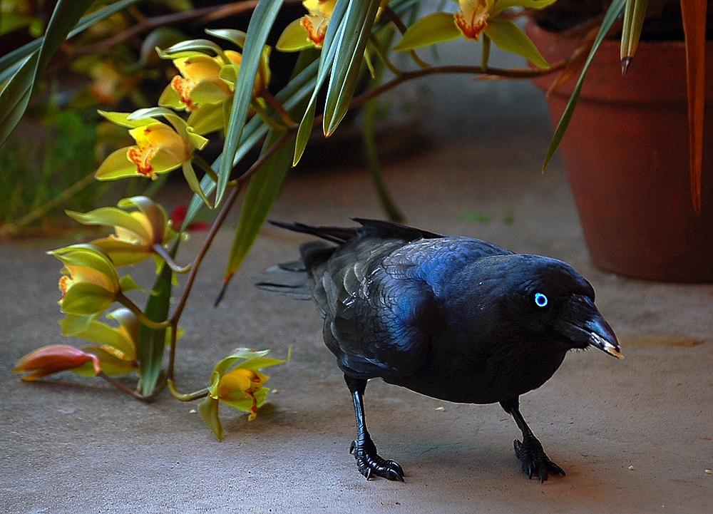 _Australian_raven_4_