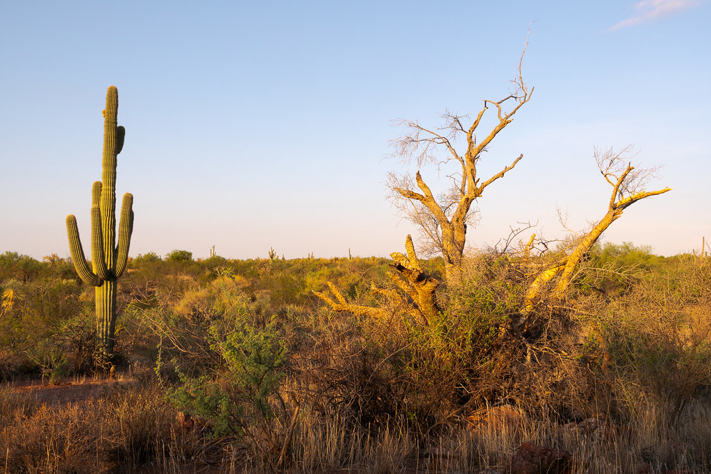 A dead tree stands near a saguaro along the Whiskey Bottle Trail in McDowell Sonoran Preserve in Scottsdale, Arizona