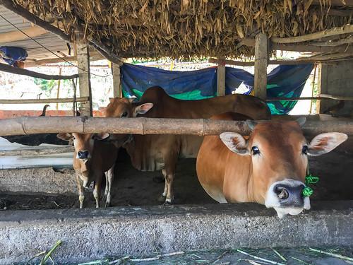 Mr. Hue's cows