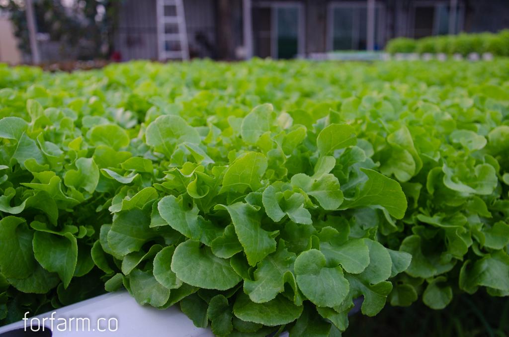 กรีนโอ๊ค (Green Oak Lettuce)