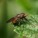 Hoverfly - Rhingia campestris