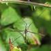 Cranefly sp. - Tipula lateralis