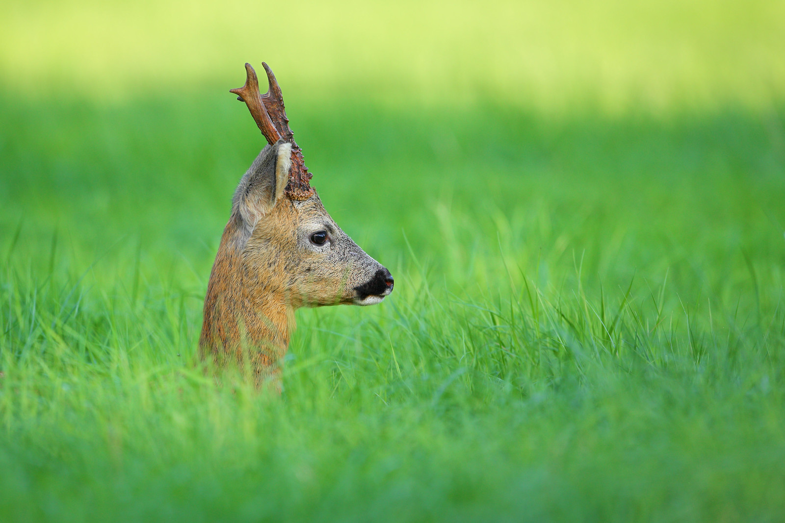 Roe Buck Side Portrait