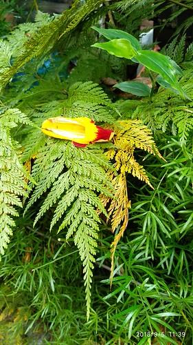 A harmonia de uma flor chamada de sapatinho repousando sobre a renda portuguesa.