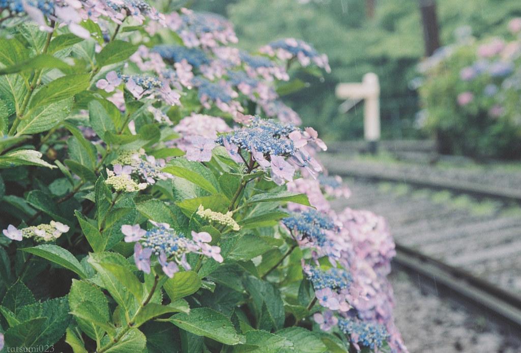 2018-07-31 紫陽花と箱根登山鉄道 001-2