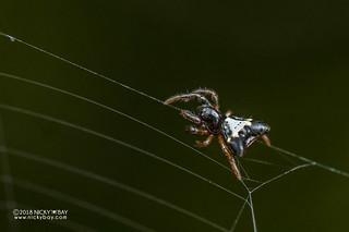 Spiny orb weaver (Acrosomoides acrosomoides) - DSC_1639