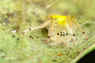 Big-jawed spider (Tetragnathidae) - DSC_1411